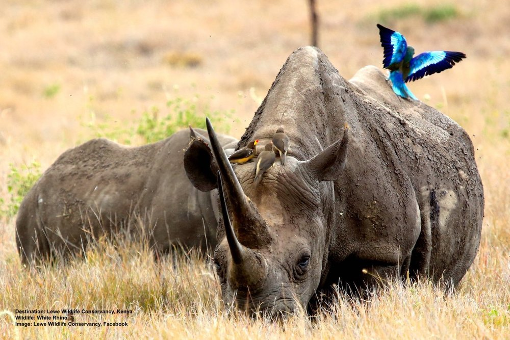 WHITE RHINO WITH LILAC-BREASTED ROLLER AND RED-BILLED OXPECKER BIRDS. IMAGE:  THANKS TO LEWA CONSERVANCY, FACEBOOK