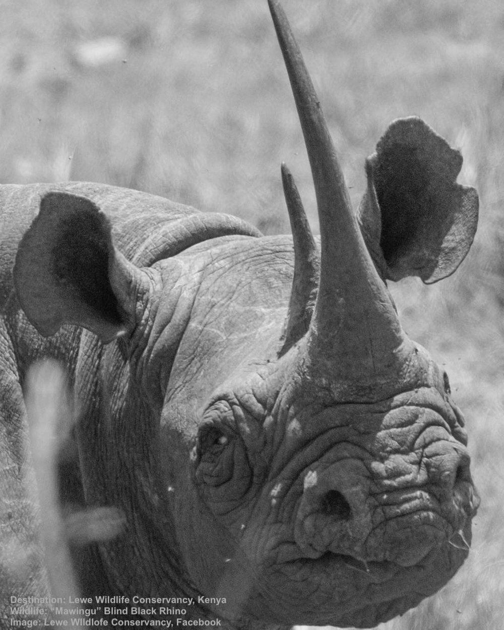 MAWINGA, A FEMALE BLACK RHINO BORN SEMI-BLIND, LIVED A HEALTHY AND PRODUCTIVE LIFE AT LEWA CONSERVANCY. IMAGE:  LEWA CONSERVANCY,  FACEBOOK
