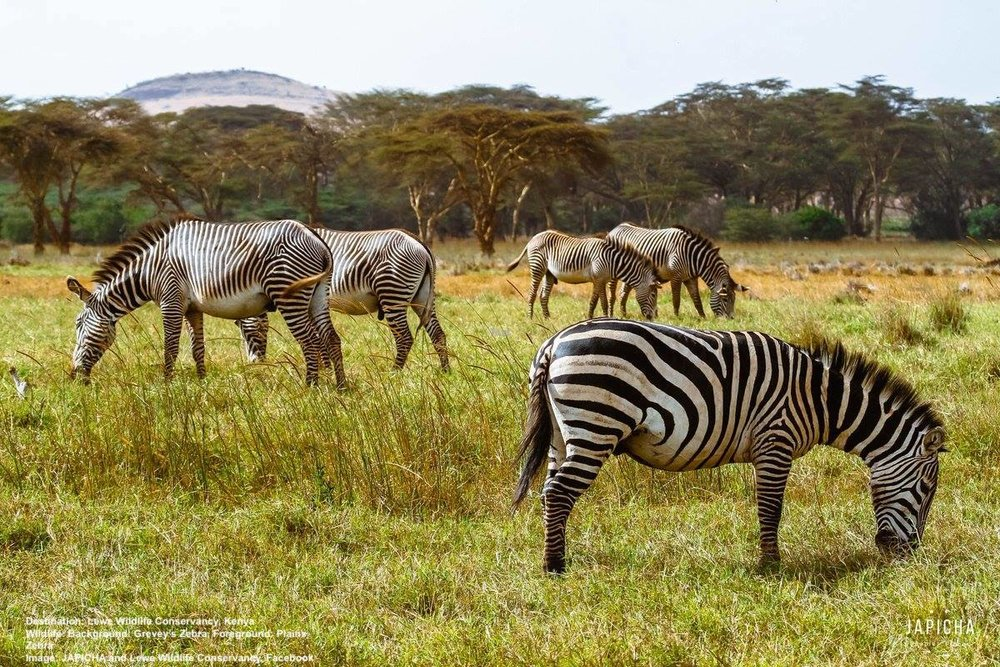 ENDANGERED GREVEY'S ZEBRAS ARE THRIVING AT LEWA (BACKGROUND), WHICH IS ALSO HOME TO PLAINS ZEBRA (FOREGROUND) IMAGE:  ©JAPICHA FOR LEWA CONSERVANCY.