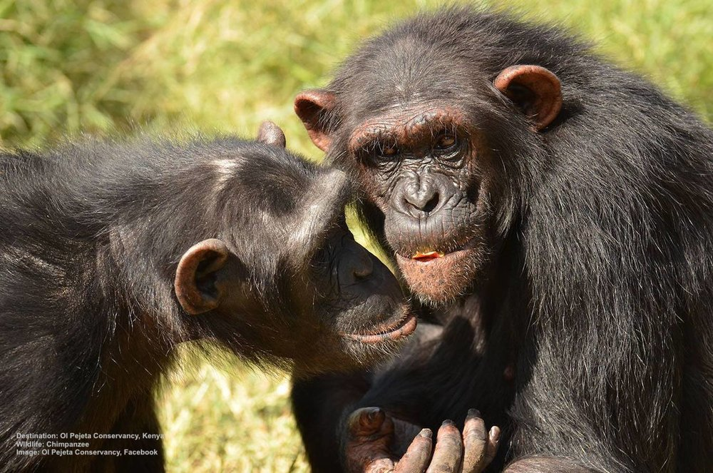 THE SWEETWATERS CHIMPANZEE SANCTUARY, A JOINT VENTURE BETWEEN THE JANE GOODALL FOUNDATION AND OL PEJETA CONSERVANCY MEANS NEW LIFE FOR ORPHANED AND RESCUED CHIMPANZEES . IMAGE:  OL PEJETA CONSERVANCY, FACEBOOK