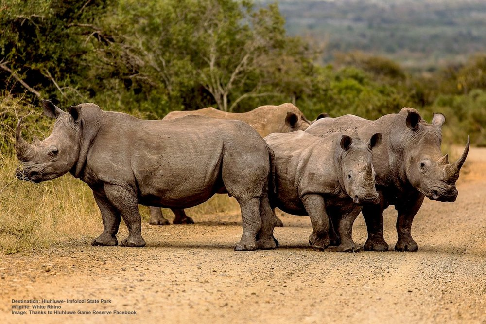 "WHITE RHINOS USING ""THEIR"" ROAD AT HLUHLUWE-IMFOLOZI PARK. IN THE LATE 1800'S THE ONLY REMAINING POPULATION OF WHITE RHINOS IN THE WORLD WAS A SMALL NUMBER IN THE AREA THAT WAS TO BECOME THIS PARK. Image:  HLUHLUWE GAME RESERVE  facebook."