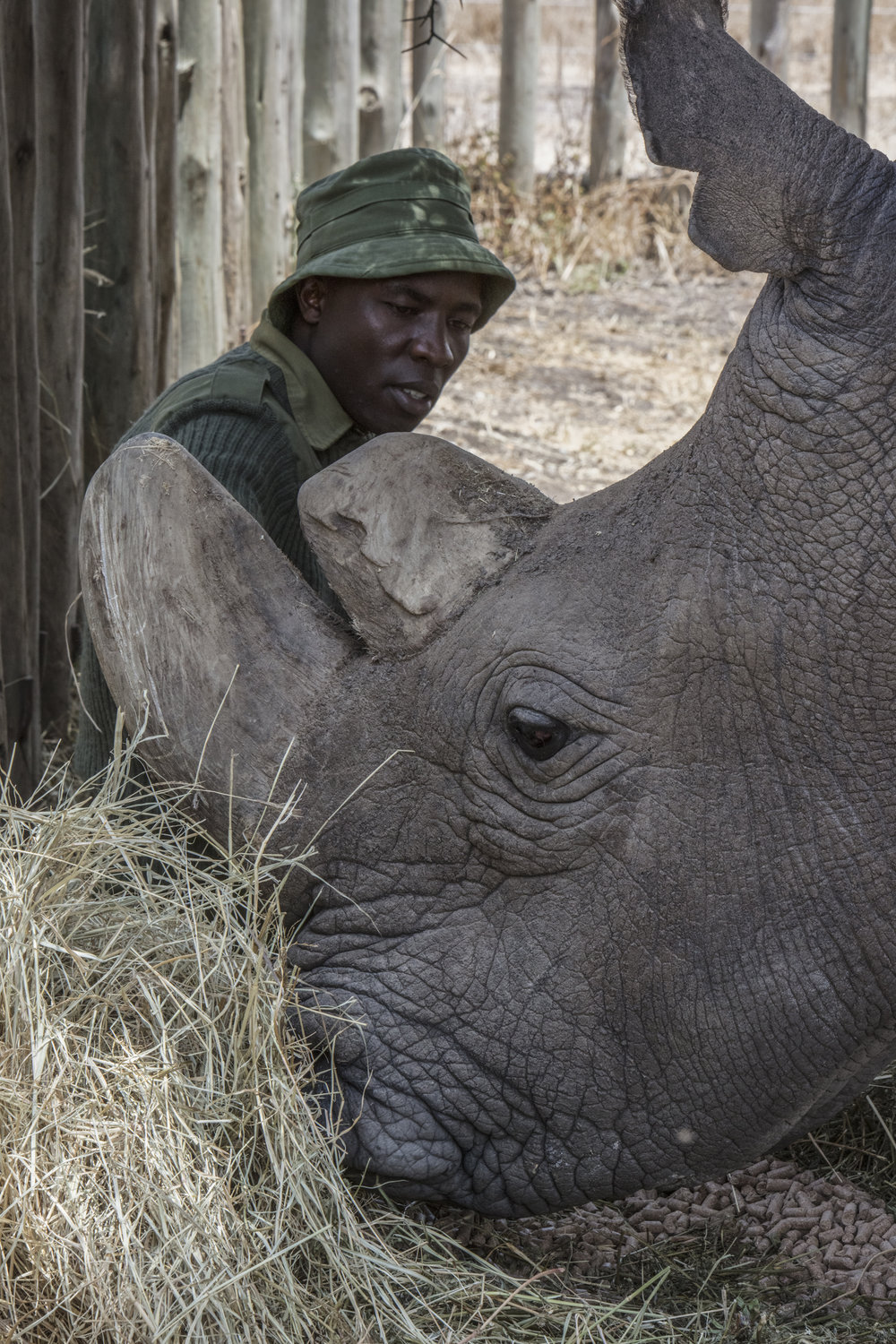 JAMES MWENDA LOVINGLY CARES FOR SUDAN, THE LAST NORTHERN WHITE RHINO MALE, A FEW DAYS BEFORE HE DIED. IMAGE THANKS TO STEVE RUSSELL STUDIOS.