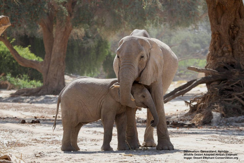 ALL BABY ELEPHANTS DEPEND ON THEIR MOTHERS, BUT THE LIVES OF THE ENTIRE HERD DEPENDS ON ITS MATRIARCH'S EXPERIENCE AND KNOWLEDGE OF SCARCE WATER SUPPLIES IN THE DESERT. IMAHE THANKS TO  DESERT ELEPHANT CONSERVATION.