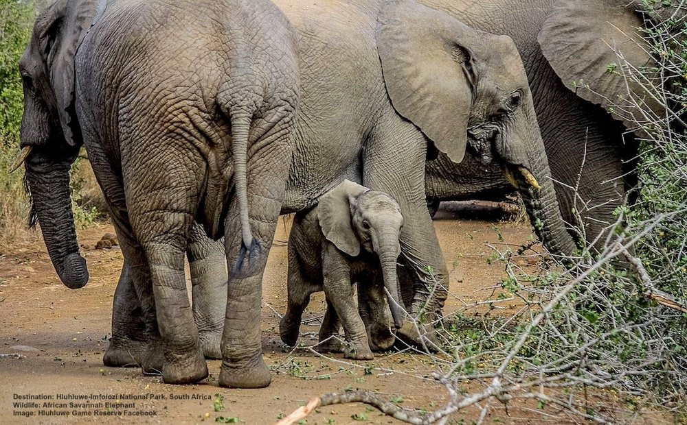 LARGE HERDS OF UP TO 200 ELEPHANTS CAN BE SEEN AT HLUHLUWE-IMFOLOZI. Image:  HLUHLUWE GAME RESERVE  facebook.