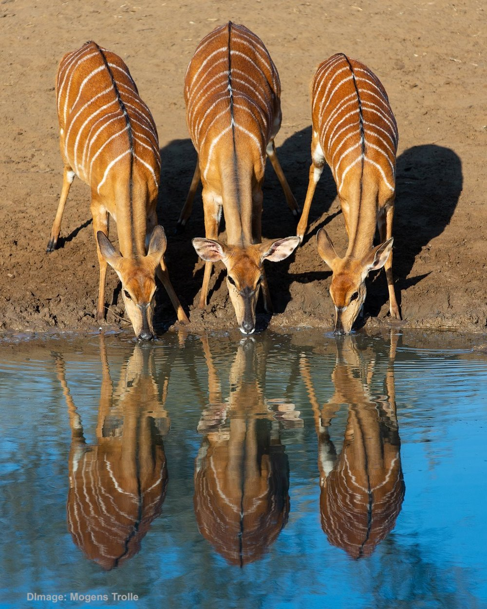 A TRIO OF FEMALE nyala stop to drink at one of the many water holes at this UNESCO Heritage site: uMkuze Game Park, KwaZulu-Natal. Image:  COURTESY OF ©MOGENS TROLLE.