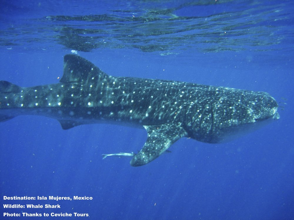 Whale Shark moving along close to the surface off Isla Mujeres, Mexico. At one time the local economy was based on fishing and whale shark hunting, today it is is focused on responsible tourism - including swimming with whale sharks. Image: Courtesy ©Ceviche Tours ©  www.cevichetours.com