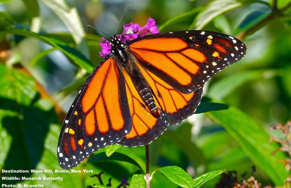In the fast fading light, on the last warm Sunday of the year, the monarch butterfly fluttered from blossom to blossom, not bothered by us or our camera lens. IMAGE: ©R. KRAVETTE