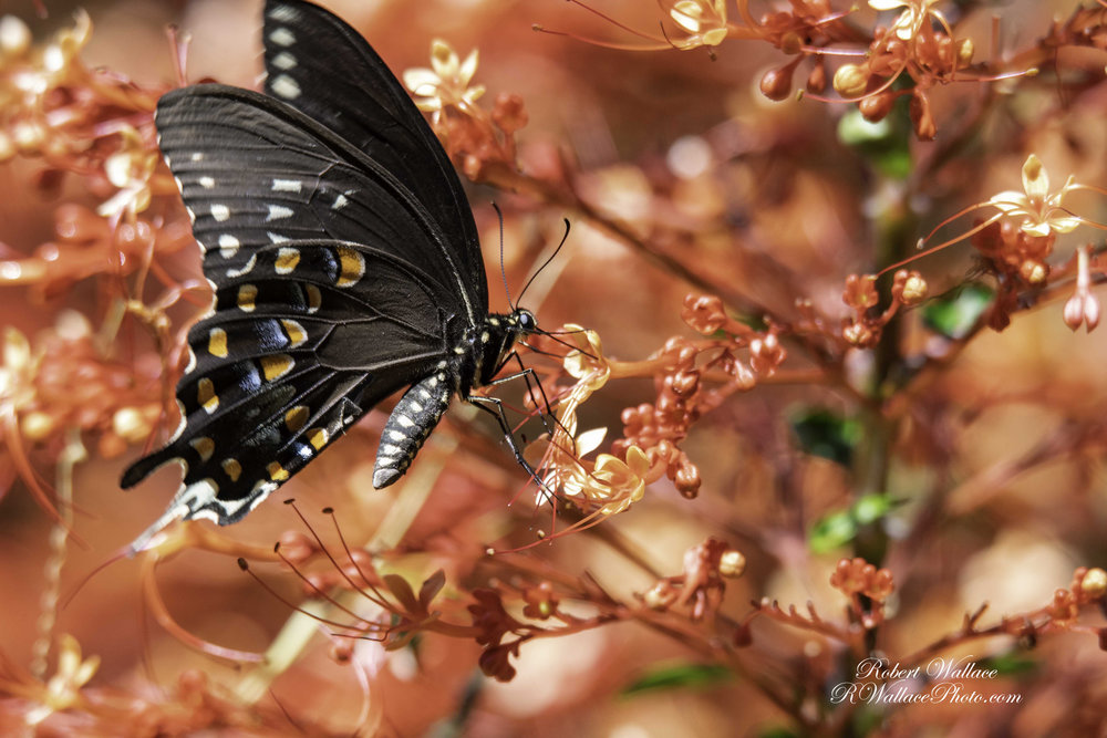 SPICEBUSH SWALLOWTAIL BUTTERFLY. SHOT AT F/7.1; 1/400TH SEC AND ISO 560. CAMERA: NIKON D500 AND LENS TAMRIN 150-600MM G2 SERIES NO FLASH AND NO FILTER. IMAGE: ©ROBERT WALLACE