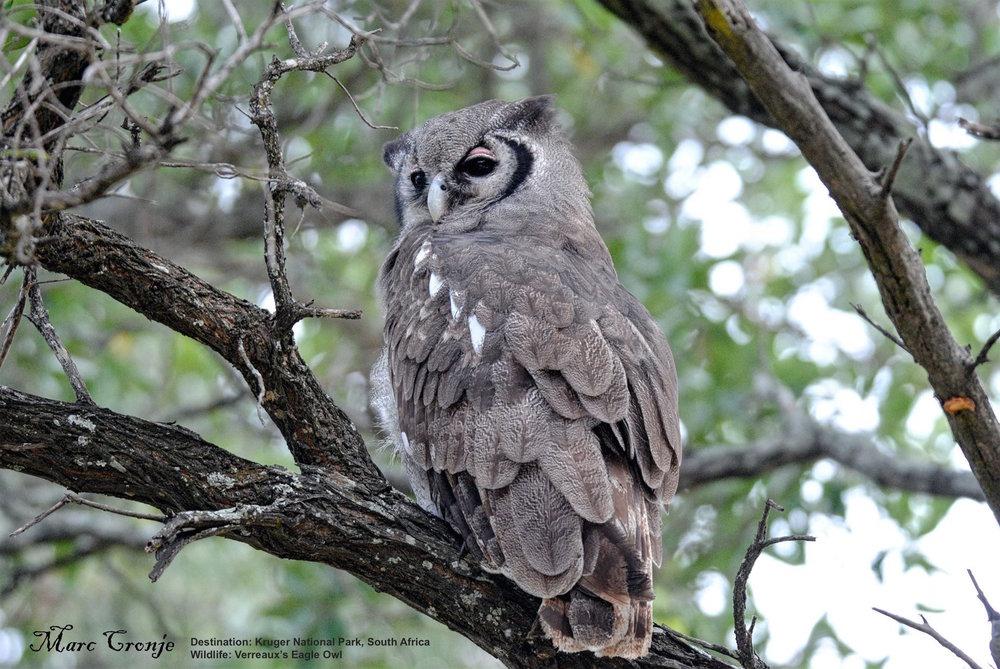 DAY 3-8 KNP VERREAUX'S EAGLE-OWL