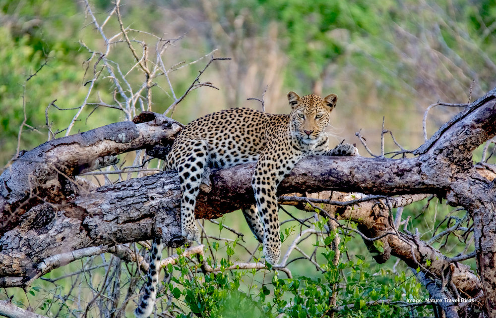 DAY 5-8: KNP, SATURA AND SKUKUZA CAMPS, LEOPARD