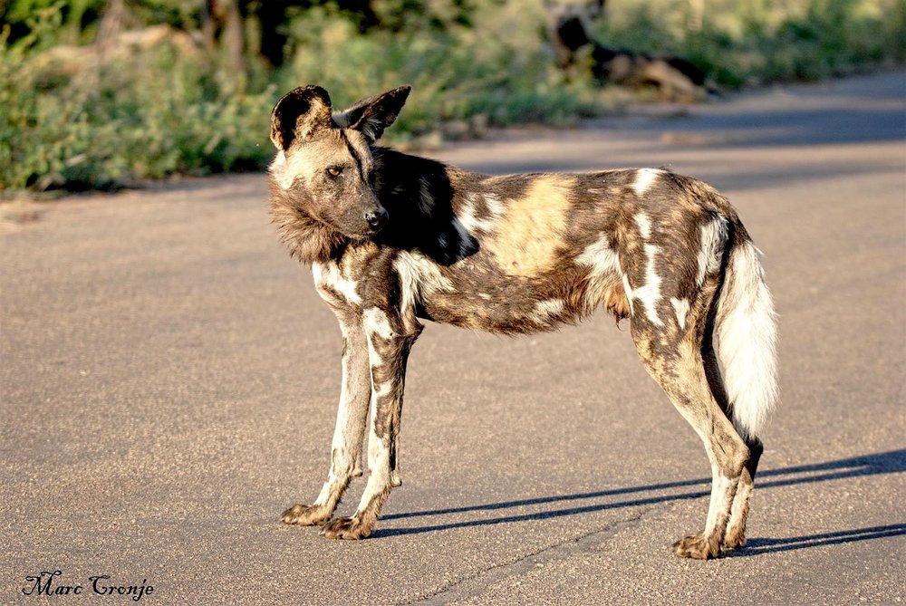 DAY 12: MKUZE NATIONAL PARK, PAINTED DOG