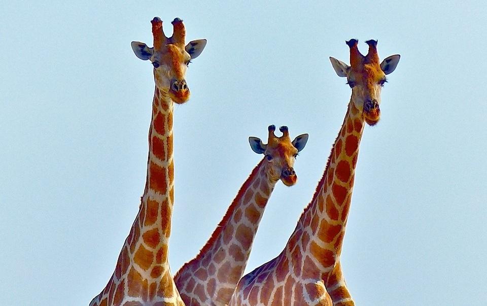 Namibia-Etosha-safari-Giraffes-.jpg