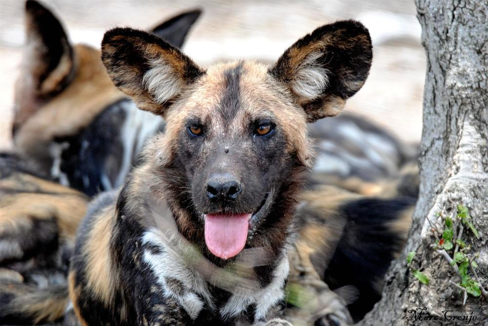 Wildlife Field Guide: African Painted (Wild) Dog