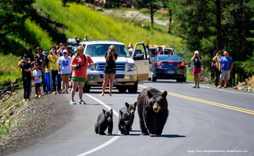 WILDLIFE JAM! IN YELLOWSTONE WHEN THE BEARS COME OUT, SO DO THE BEAR ENTHUSIASTS. FOR THE SAFETY OF THE PICTURE TAKERS AND THE BEARS, IT IS IMPORTANT TO REMEMBER THEY ARE WILD ANIMALS. STAY WELL BACK, FOLLOW THE PARK SAFETY RULES. IMAGE:  ©Jorn Vangoidtsenhoven, Vango Photos