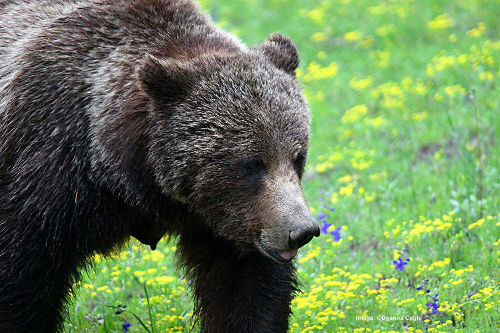 KEEPING THE RIGHT DISTANCE AWAY KEEPS THE BEARS CALM ND VIEWERS SAFE. BEAR 399 IS A GOOD EXAMPLE, SHE HAS ALLOWED THIS PHOTOGRAPHER TO QUIETLY GET GREAT IMAGES OF HER AND HER CUBS IMAGE:  ©DEANNA CAGLE