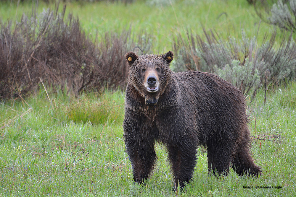 BEAR 610 IS ONE OF THE WILDLIFE SUPER STARS THAT HAS A HUMAN FOLLOWING ALL ITS OWN AT GRAND TETON NATIONAL PARK, WYOMING. IMAGE:  ©DEANNA CAGLE