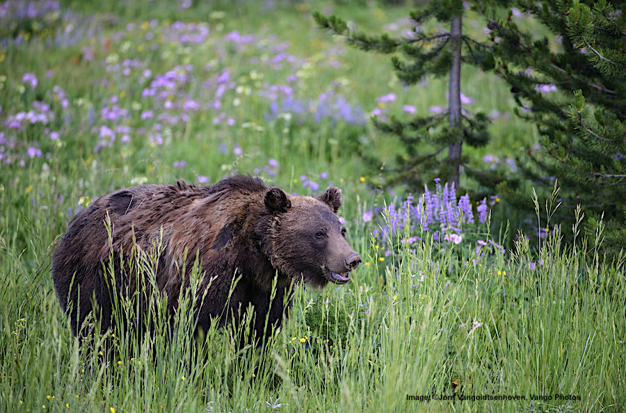 SPRING AWAKENING. THIS GRIZZLY WAS STANDING BY THE SIDE OF THE ROAD, HE KINDLY MOVED TO POSE FOR US AMONG THE FLOWERS . IMAGE:  ©Jorn Vangoidtsenhoven, Vango Photos