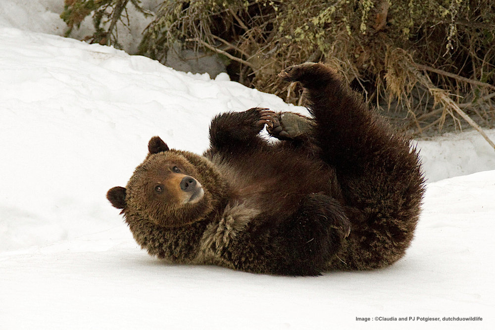SRING, WHEN THE SNOW IS STILL ON THE GROUND, IS A GREAT TIME TO SPOT A GRIZZLY. Image:  ©Claudia and PJ Potgieser, dutchduowildlife