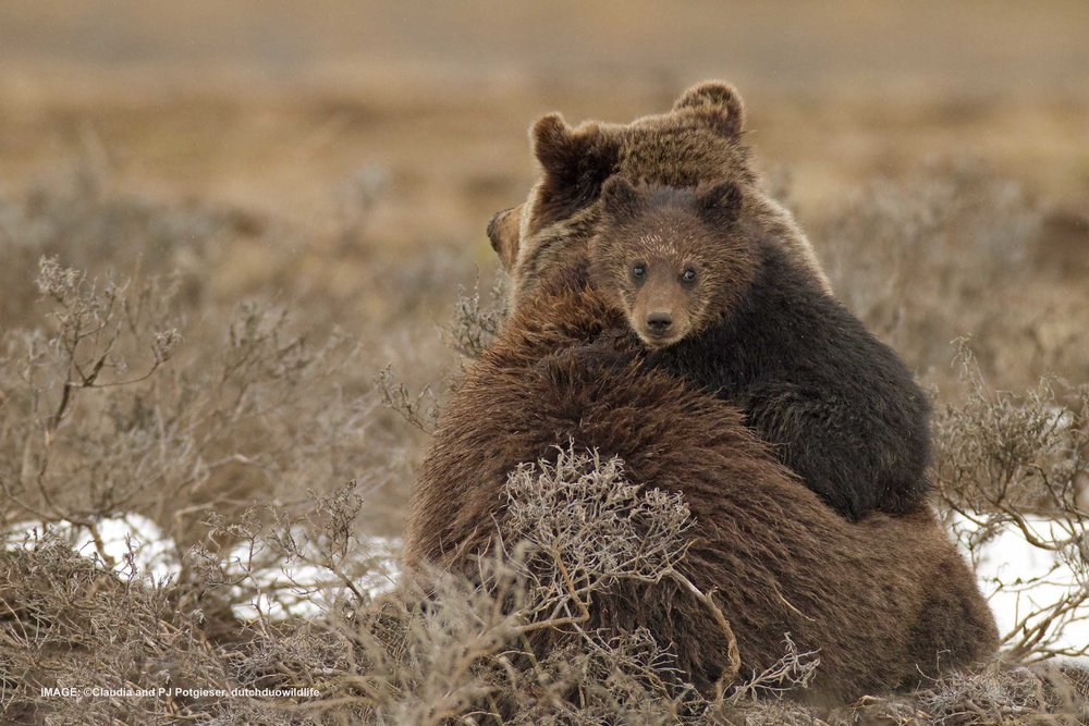 IN 1975 EMBATTLED GRIZZY BEAR WAS ADDED TO THE ENDANGERED SPECIES LIST. Image:  ©Claudia and PJ Potgieser, dutchduowildlife