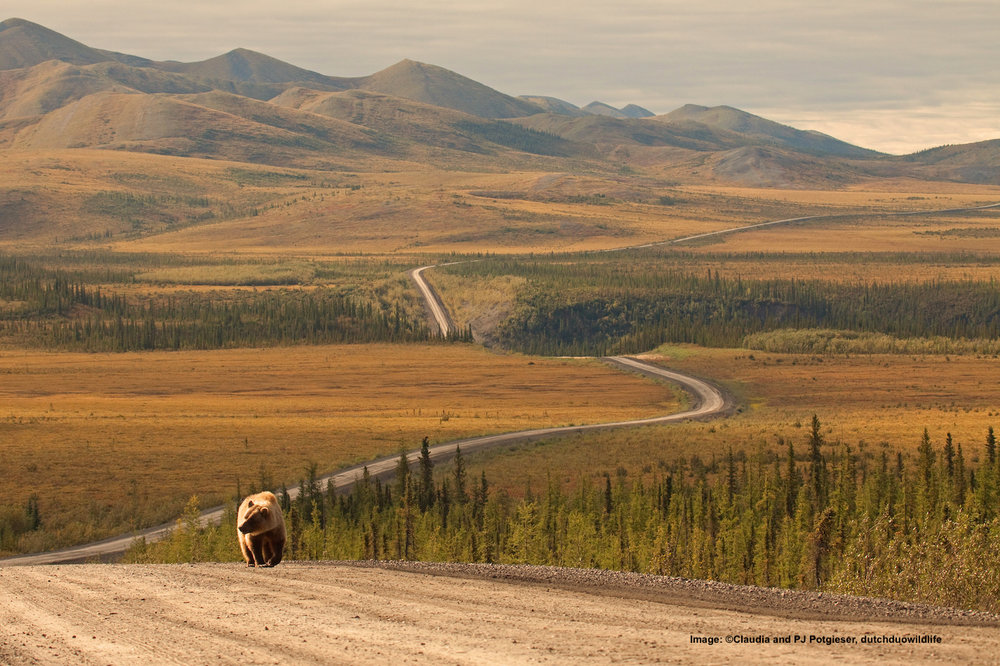 LIKE THIS GRIZZLY MAKING HIS WAY DOWN DEMPSTER (YUKON) HIGHWAY IN CANADA'S NORTHWEST TERRITORIES, MOST WILDLIFE HAS VERY LITTLE RESPECT FOR MAN-MADE BOUNDARIES, EVEN THOSE THAT CAN PROTECT THEM. Image:  ©Claudia and PJ Potgieser, dutchduowildlife