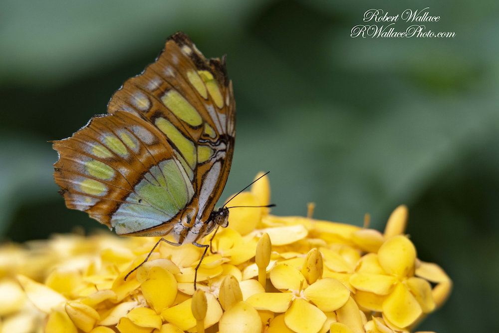 How-to-take-great-photos-of-butterflies-robert-wallace.jpg