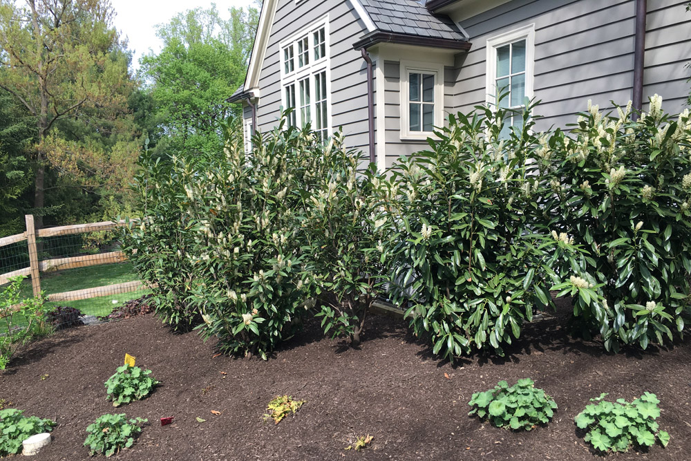 foundation-planting-cherry-laurel.jpg