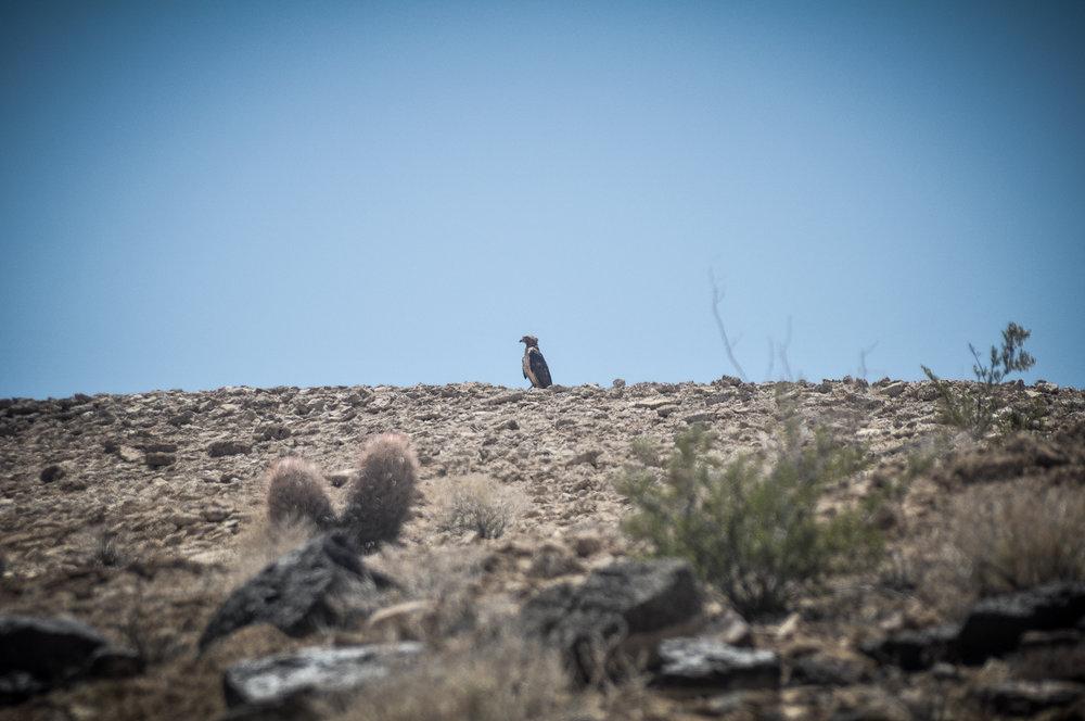 Ave de rapina (não identificada) no meio do deserto de Mojave, a caminho do Joshua Tree National Park.