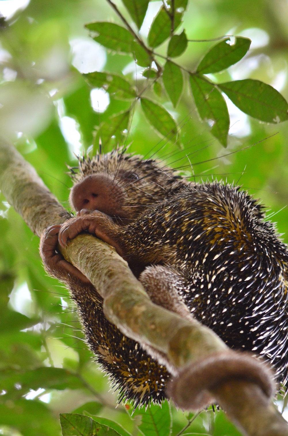 Coandu, ou Ouriço-Caixeiro. Fotografia Ana Amélia.Cortesia de House Boat Amazon e Global Conservation International