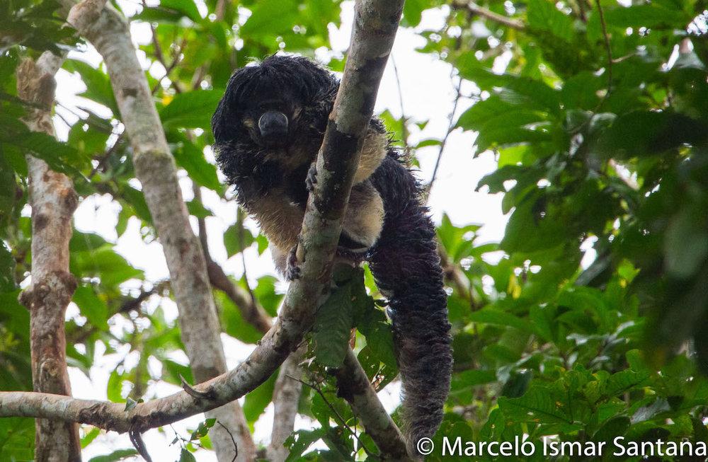 Encontrado o primata mais procurado dos últimos anos! Pithecia vanzolini.Cortesia de House Boat Amazon e Global Conservation International