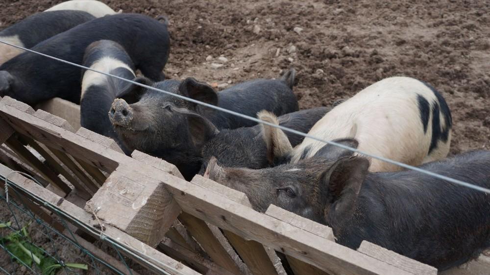 Pigs at Ballymaloe
