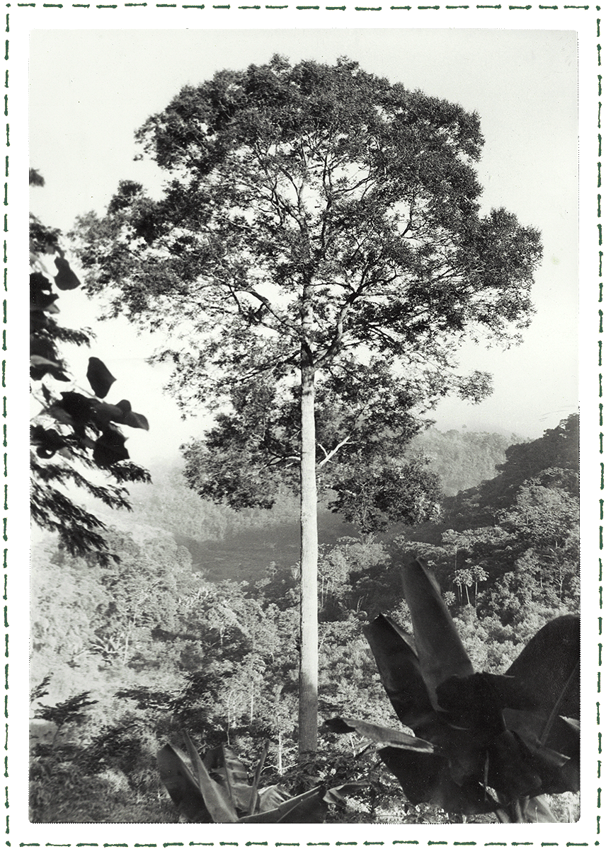 A  jequitibá-rosa  no meio da vale reflorestado.