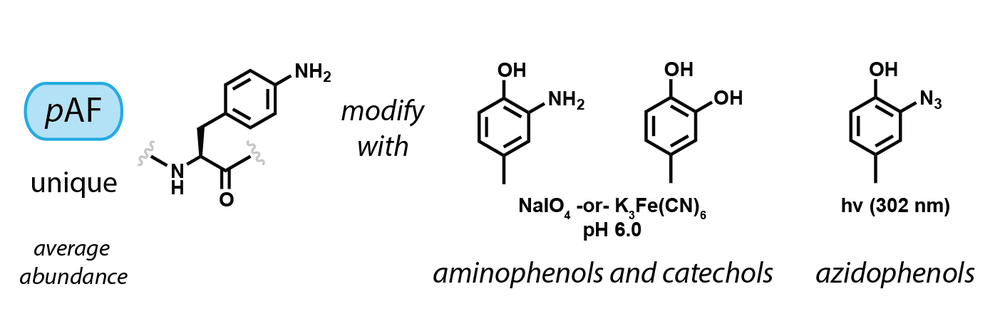 p-aminophenylalanine residues can be oxidatively coupled with aminophenols and catechols