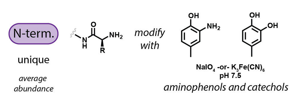 At elevated pH the N-terminal amine reacts with o-quinones