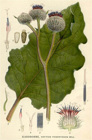 Illustration from Bilder ur Nordens Flora (Public Domain)