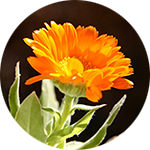 Calendula    Calendula officinalis   by Krystal Thompson