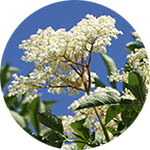 Elder Sambucus spp. by Krystal Thompson