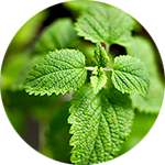 Lemon Balm Melissa officinalis by Sara Seitzman