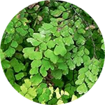 Maidenhair Fern    Adiantum  spp .   by David B. Leonard