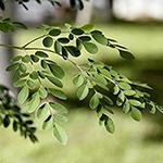 Moringa Moringa oleifera by Nick Moya