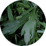 Mugwort    Artemisia vulgaris   by Krystal Thompson