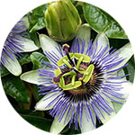 Passionflower Passiflora incarnata by Krystal Thompson