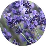 Lavender    Lavandula angustifolia   by Sara Seitzman