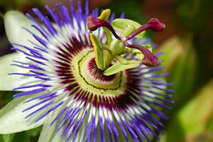 passionflower.jpeg