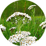 Yarrow Achillea millefolium by Krystal Thompson
