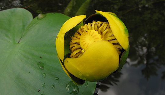Yellow pond lily monograph herbrally michael moore says that yellow pond lily pain is sharper as opposed to the dull pain of cold congestive states mightylinksfo