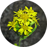 Goldenrod   Solidago spp.   by Lindsey Hesseltine