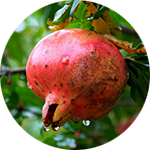 Pomegranate Punica granatum by John Uri Lloyd