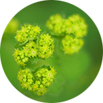 Lady's Mantle    Alchemilla vulgaris   by Leslie Lekos