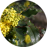 Oregon Grape    Berberis  spp.  by Renee Davis