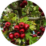 Hawthorn    Crataegus spp.   by Heather Irvine